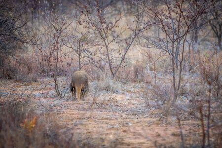 Aardvark walking away in the bush in the Welgevonden game reserve, South Africa.