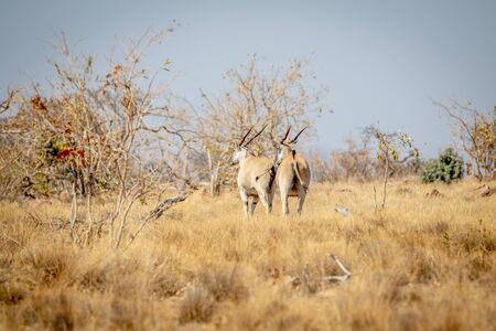 Two Elands walking away in the grass in the Welgevonden game reserve, South Africa.