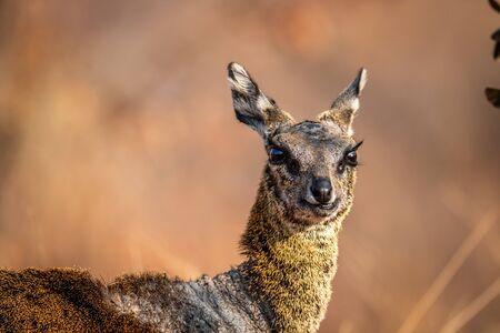 Close up of a Klipspringer in the Welgevonden game reserve, South Africa. Reklamní fotografie