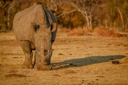 Big White rhino grazing in the golden light, South Africa. Reklamní fotografie