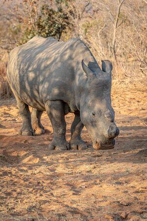 Dehorned White rhino grazing, South Africa. Reklamní fotografie