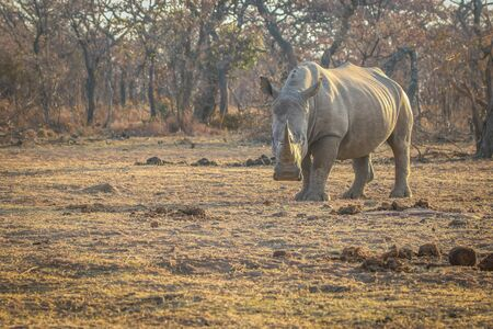 Big male White rhino standing in the grass, South Africa.