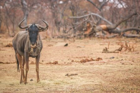 Blue wildebeest standing in the grass and eating in the Welgevonden game reserve, South Africa.