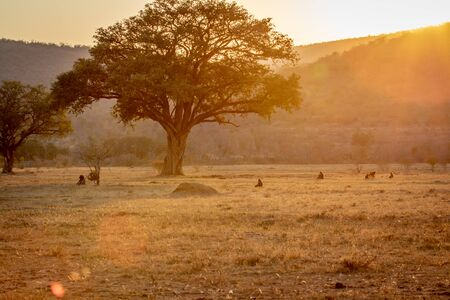 Sunset on a open plain with Chacma baboons in the Welgevonden game reserve, South Africa.
