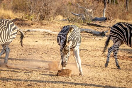 Zebra eating a mineral block in the Welgevonden game reserve, South Africa.