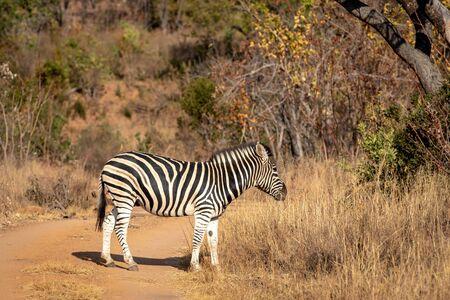Zebra standing in the road in the Welgevonden game reserve, South Africa. Reklamní fotografie