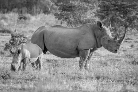 White rhino mother and baby calf standing in the grass in black and white, South Africa.
