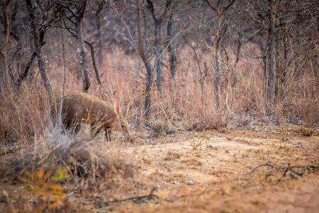 Aardvark walking in the bush in the Welgevonden game reserve, South Africa.