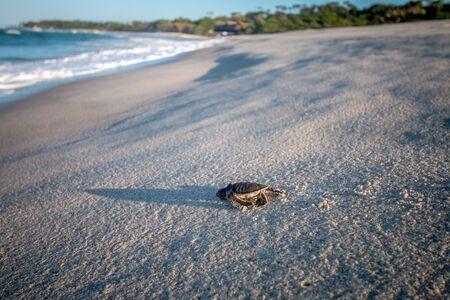 Green sea turtle hatchling on the beach on the Swahili Coast, Tanzania.
