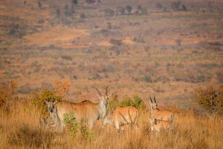 Herd of Eland standing in the high grass in the Welgevonden game reserve, South Africa.