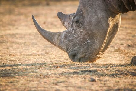 Close up of a White rhino grazing, South Africa.