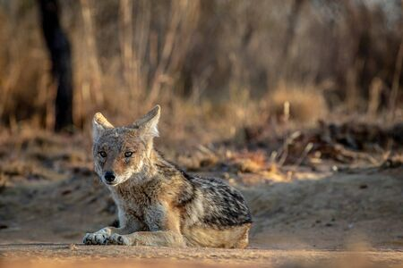 Black-backed jackal laying in the sand in the Welgevonden game reserve, South Africa. 스톡 콘텐츠