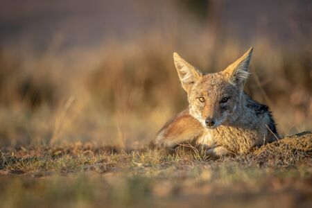 Black-backed jackal laying in the sand in the Welgevonden game reserve, South Africa. Stock Photo