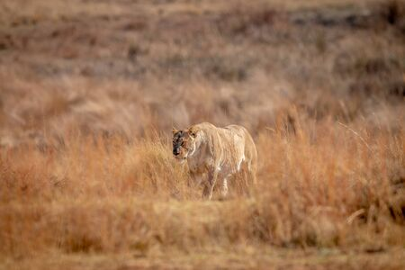 Lioness walking in the high grass in the Welgevonden game reserve. South Africa.