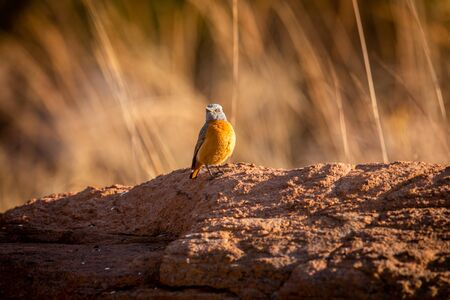 Cape rock thrush standing on a termite mount in the Welgevonden game reserve, South Africa.
