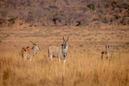 Herd of Eland standing in the grass in the Welgevonden game reserve, South Africa.