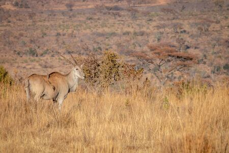 Eland standing in the high grass in the Welgevonden game reserve, South Africa.