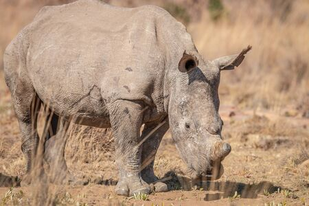 White rhino standing in the grass, South Africa.