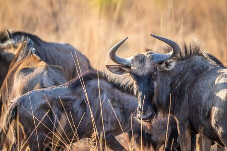 Close up of a Blue wildebeest starring at the camera in the Welgevonden game reserve, South Africa.