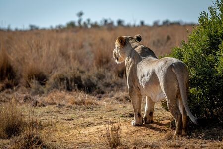 Lioness scanning the plains for prey in the Welgevonden game reserve, South Africa. Reklamní fotografie - 133824589