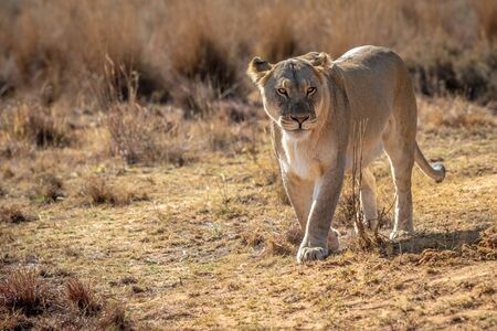 Lioness walking towards the camera in the Welgevonden game reserve, South Africa.