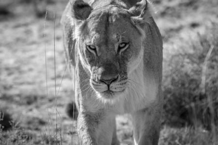 Lioness walking towards the camera in black and white in the Welgevonden game reserve, South Africa. Reklamní fotografie - 133824600