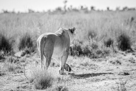 Lioness walking away in the high grass in black and white in the Welgevonden game reserve, South Africa. Reklamní fotografie - 133824647