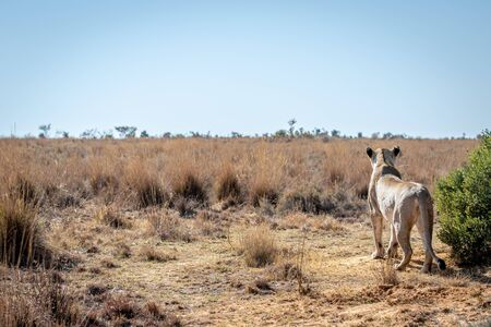 Lioness scanning the plains for prey in the Welgevonden game reserve, South Africa. Stock Photo