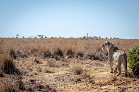 Lioness scanning the plains for prey in the Welgevonden game reserve, South Africa. Reklamní fotografie - 133824652