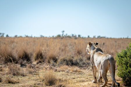 Lioness scanning the plains for prey in the Welgevonden game reserve, South Africa. Stockfoto