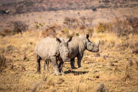Two White rhinos standing in the grass, South Africa. Stock Photo