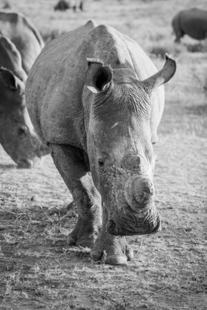 Close up of a White rhino starring at the camera in black and white, South Africa.