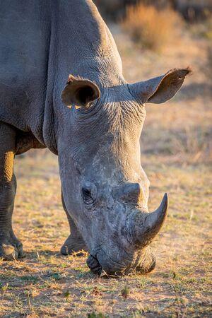 Zamknij się z białego wypasu nosorożca, Republika Południowej Afryki.