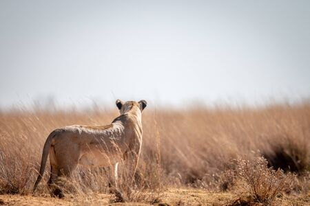 Lioness standing in the grass and scanning the surroundings in the Welgevonden game reserve, South Africa. Stockfoto