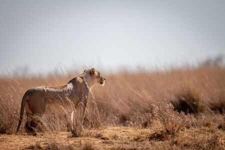 Lioness standing in the grass and scanning the surroundings in the Welgevonden game reserve, South Africa. Reklamní fotografie - 133824984
