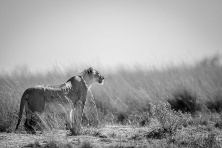 Lioness standing in the grass and scanning the surroundings in black and white in the Welgevonden game reserve, South Africa. Reklamní fotografie - 133824988