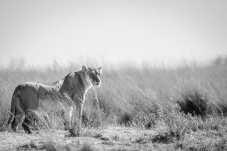 Lioness standing in the grass and scanning the surroundings in the Welgevonden game reserve, South Africa. Reklamní fotografie - 133824986