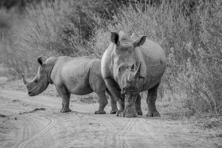 Dwa białe nosorożce stojące na drodze w buszu w czerni i bieli, Republika Południowej Afryki.