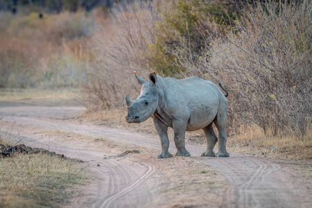 Young White rhino standing on a bush road, South Africa.