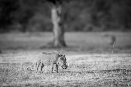 Warthog standing in the grass in black and white in the Welgevonden game reserve, South Africa.