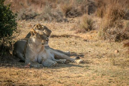 Two Lionesses laying under a bush in the Welgevonden game reserve, South Africa.