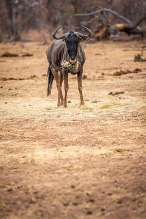 Blue wildebeest standing and eating in the Welgevonden game reserve, South Africa 版權商用圖片