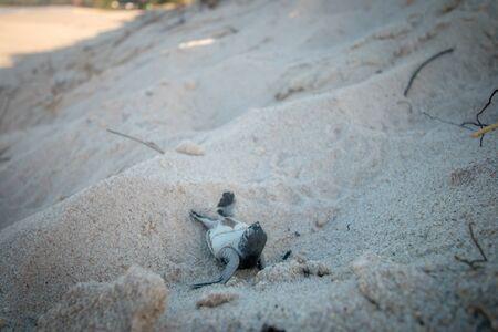 Tartaruga Verde hatchling sulla spiaggia sulla costa dello Swahili, Tanzania.
