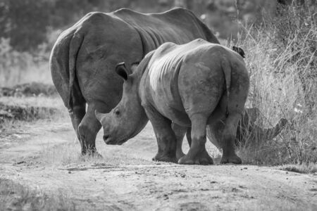 Mother White rhino with a calf in black and white in the bush, South Africa.