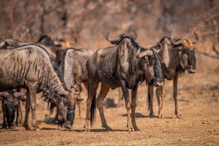 Streifengnu stehen im Gras im Wildreservat Welgevonden, Südafrika.