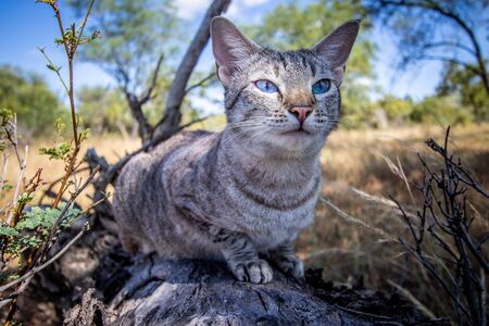 Blue-eyed cat laying on a fallen tree in Africa. Reklamní fotografie