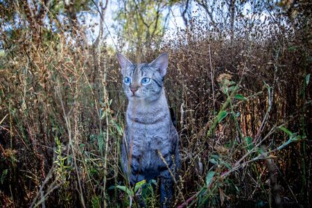 Blue-eyed cat sitting in the grass in Africa.