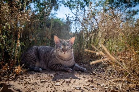 Blue-eyed cat laying between the grass in Africa.