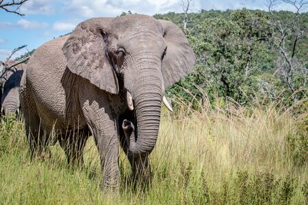 Female African elephant standing in the grass in the Welgevonden Game Reserve, South Africa. Stock Photo