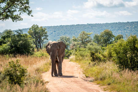 Big African elephant walking towards the camera in the Welgevonden Game Reserve, South Africa.